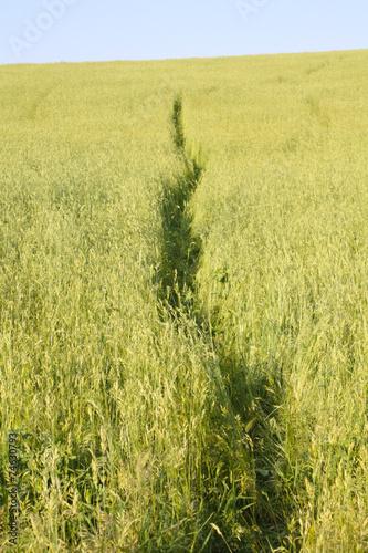 Sentiero nel grano