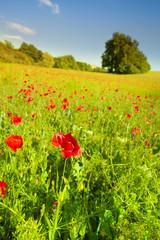 Red poppy flowers in green field