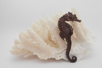 white coral and seahorse