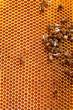 Obrazy na płótnie, fototapety, zdjęcia, fotoobrazy drukowane : Working bees on honeycombs filled with honey