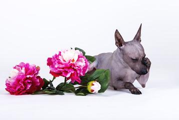 dog American naked Terrier