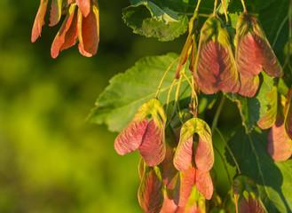 Maple foliage and winged fruit samara