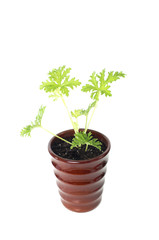 SCENTED GERANIUMS young plant in  brown pot, mosquitoes repellen