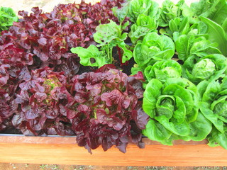mature oak leaf and romaine lettuces