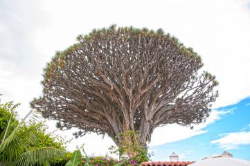 Millennial Drago tree