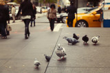 Fototapety Pigeons on New York street, USA