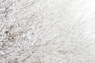 branch with hoarfrost