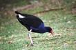 canvas print picture - Roter Dichtungs-Blässhuhn-Vogel - Australien