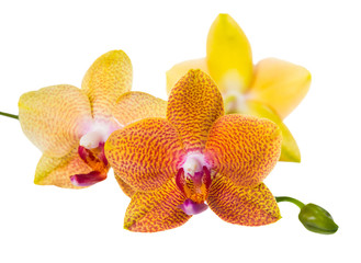 twig of pointed orange orchid is isolated on white background, c