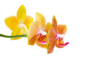 blossoming pointed orange orchid is isolated on white background