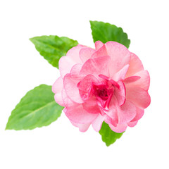 blooming beautiful pink Impatiens flowers is isolated on white b