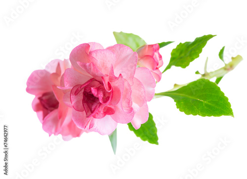 Foto op Canvas Lilac blooming beautiful twig of pink Impatiens flowers is isolated on