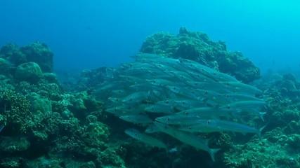 A school of Yellowstripe barracudas