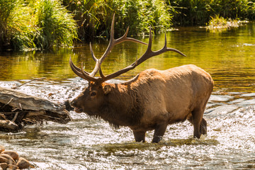 Bugling Bull Elk in Stream