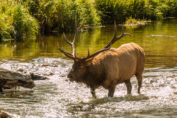 Bull Elk Bugling in Stream