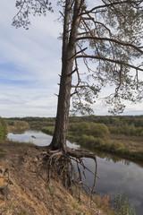 Корни сосны держатся за обрывистый берег реки