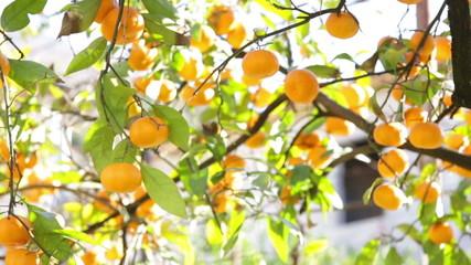 Tree With Tangerines