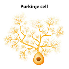 Purkinje cell or Purkinje neuron