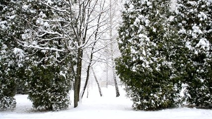 Snow falling on green thuja trees background