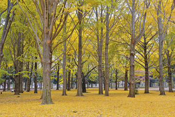 Fall colors - Golden yellow Ginkgo trees in autumn