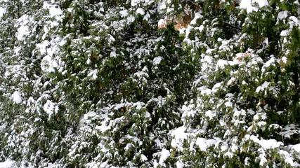 Snow falling on green thuja trees background – Close-up