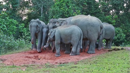 Big group of wild elephant with young eating salt lick