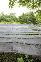 ワサビ農園
