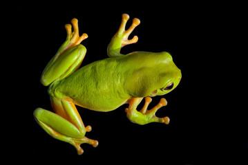 Green Tree Frog (Litoria caerula), Australia