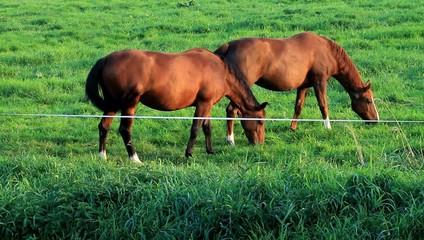 Zwei braune  Pferde fressen Gras auf der Wiese