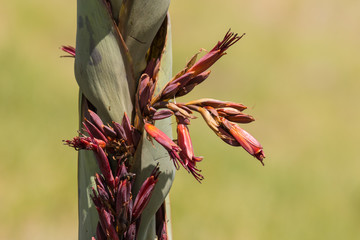 detail of New Zealand flax flowers