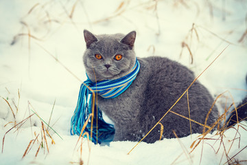 Cat wearing scarf walking on the snow