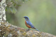 Bird on the best perch (Chestnut-bellied Rock-Thrush) , Chiangma