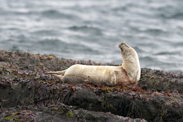 Harbor seal trapped in fishing net