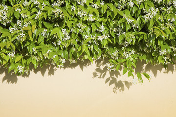 Privet hedge covering a colored wall plastered