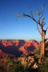 Grand Canyon tree wiew