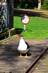 Muscovy duck and danger sign © Arena Photo UK