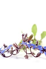 frischer natürlicher blauer Borretsch