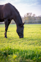 Brown horse grazing in a lush green pasture