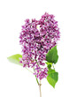 canvas print picture - Blossoming Lilac