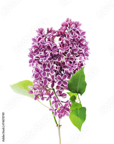 canvas print picture Blossoming Lilac
