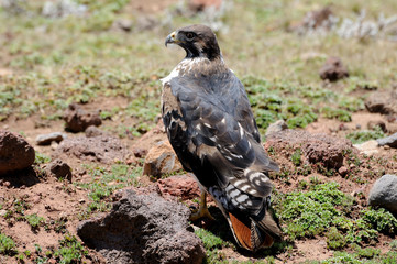 Eagle bird standing on the ground