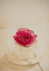 rose pink  in vintage style