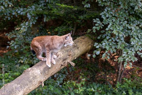Canvas Lynx Luchs