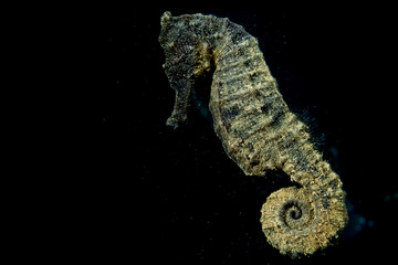 Black sea horse looking at you in Indonesia