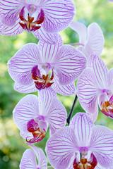 Orchidee mit weiß-pinken Muster und grünem Hintergrund