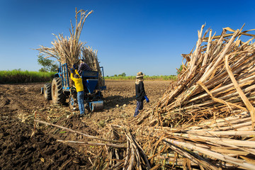 Farmers was preparing sugarcane to lift up on the tractor.