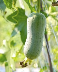 The close view of loofah gourd closeup