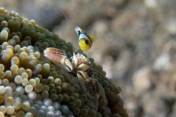 porcelain crab and clown fish