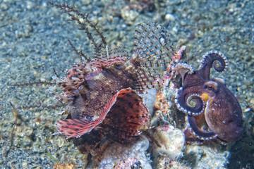 coconut octopus fighting against scorpion fish