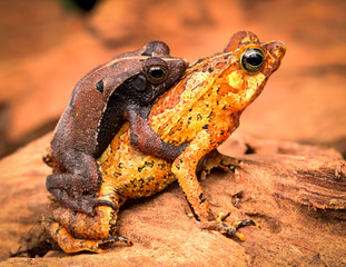 mating tropical toads